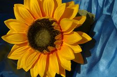 Sunflower bloom Royalty Free Stock Images