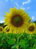 Sunflower bloom on field Stock Photography
