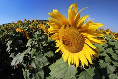Sunflower bloom with honey bee Royalty Free Stock Photos
