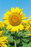 Sunflower bloom on plantation in Caucasus Stock Image