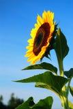 Sunflower bloom Stock Photos