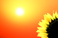 Sunflower in bloom at sunset. Illustration of sunflower in bloom with red sunset background and copy space royalty free stock photo