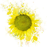 Sunflower Bloom Watercolor Royalty Free Stock Photo