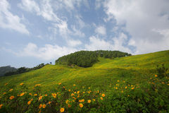 Sunflower bloom in winter. Mae Hong Son Province, Thailand royalty free stock photography
