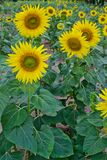 Sunflower blooming Stock Images