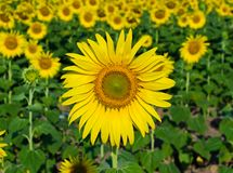 Sunflower blooming Royalty Free Stock Photos