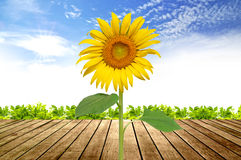 Sunflower blooming. With wooden floor and beautiful sky background Royalty Free Stock Images