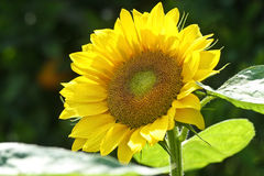 Sunflower blooming. A bright yellow sunflower blooming Royalty Free Stock Photos