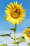 Sunflower  blooming agent blue sky Stock Photo