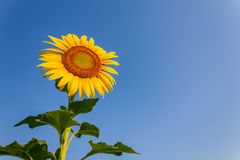 Sunflower. Blooming sunflower in the blue sky background Stock Image