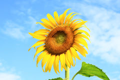 Sunflower blooming. On blue sky background Royalty Free Stock Photo