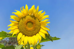 Sunflower blooming on blue sky background Royalty Free Stock Image