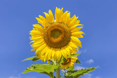 Sunflower blooming on blue sky background Royalty Free Stock Photos