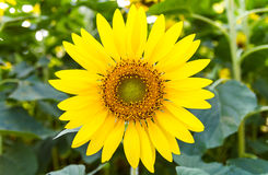 Sunflower blooming Royalty Free Stock Images