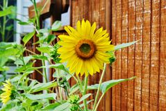 Sunflower. Blooming sunflower with dark fence background Stock Photo