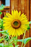 Sunflower. Blooming sunflower with dark fence background Royalty Free Stock Images