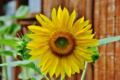 Sunflower. Blooming sunflower with dark fence background Stock Images