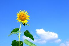 Sunflower Blooming during Daytime Stock Photography