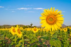 Sunflower blooming at farm Royalty Free Stock Photography