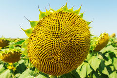 Sunflower after blooming Royalty Free Stock Photos