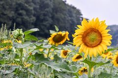 A Sunflower blooming in a field, Jasper, Georgia, USA stock image