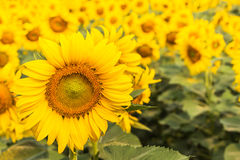 Sunflower blooming on field Stock Photos