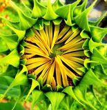 Sunflower blooming. Stock Images