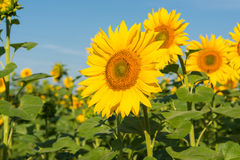 Sunflower blooming flowers on a farm stock images
