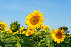 Sunflower blooming flowers on a farm stock photos