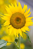 Sunflower blooming flowers Royalty Free Stock Photo