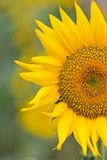 Sunflower blooming flowers Royalty Free Stock Image