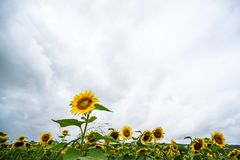 Sunflower blooming in front of sunflower field Stock Photo