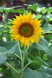 Sunflower. Blooming sunflower in the garden Royalty Free Stock Photo