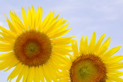 Sunflower is blooming on garden. Sunflower is blooming Royalty Free Stock Photography