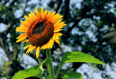 Sunflower blooming Royalty Free Stock Photography