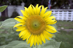 Sunflower is blooming Royalty Free Stock Images