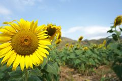 Sunflower blooming in nature near the mountain stock photo