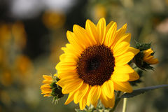 Sunflower Blooming Outdoors Stock Photo