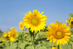 Sunflower blooming Stock Photography