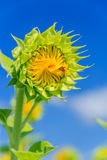 Sunflower before blooming Royalty Free Stock Photos