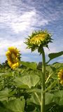 Sunflower blooming. In sky Stock Photography