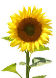Sunflower. Blooming sunflower with a sky on background Stock Image
