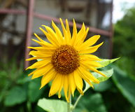 Sunflower. A blooming stage of sunflower Stock Photos