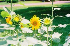 Sunflower is blooming stock photography