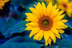 Sunflower. Blooming Subflower in spring time in the garden Stock Photography