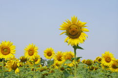 Sunflower. Blooming sunflower in the sunshine Stock Images