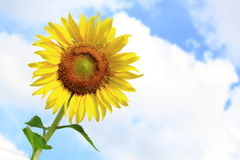 Sunflower Blooming Under Blue Sky Royalty Free Stock Photography