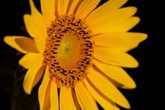 Sunflower. Shining under the sun Stock Photo