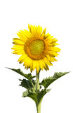Sunflower blooming on white background. Stock Photos