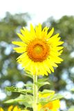 Sunflower at blooming are yellow in wide field country royalty free stock photos